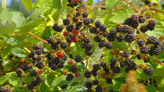 branches filled with ripening blackberries sway in a breeze. - berry fruit stock videos & royalty-free footage