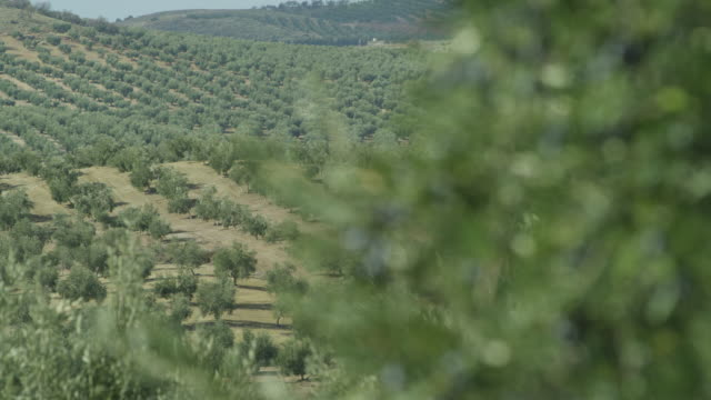 SLO-MO branches full of olives swaying in wind RED R3D 4K