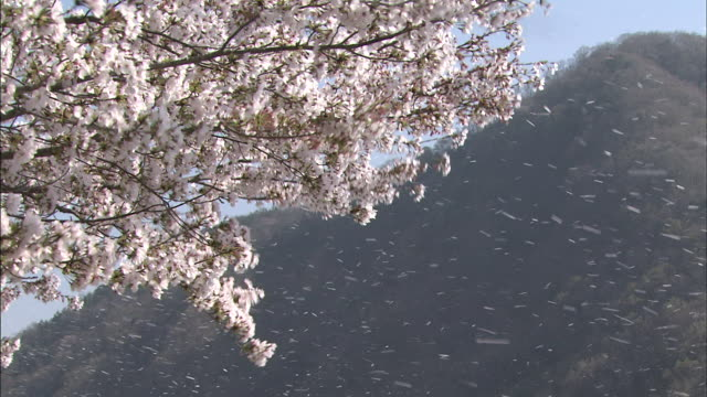 branches laden with cherry blossoms bend in the wind. - cherry blossom stock videos & royalty-free footage