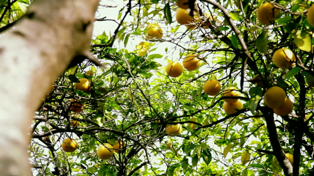 Branches of a grapefruit tree. View from ground