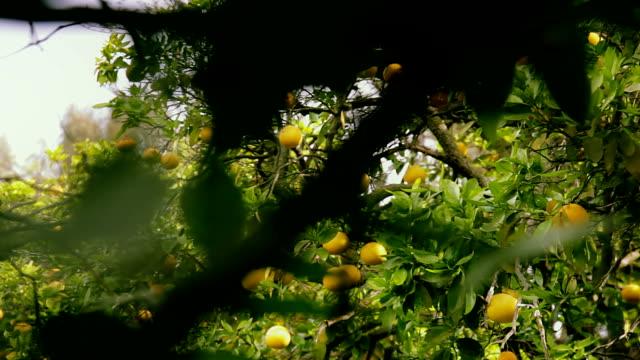 vídeos y material grabado en eventos de stock de ramas de los árboles de toronjas - huerta