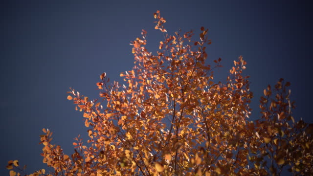 branches of golden orange, yellow fall leaves flickering in the gentle breeze - branch stock videos & royalty-free footage