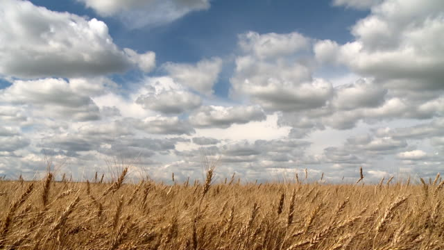 branches of golden wheat in the wind - manitoba stock videos & royalty-free footage
