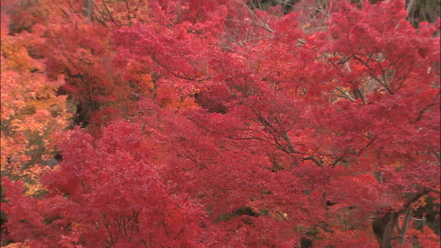 branches of maple tree full with colourful autumn leaves move gently in breeze, kyoto, japan - bigleaf maple stock videos and b-roll footage