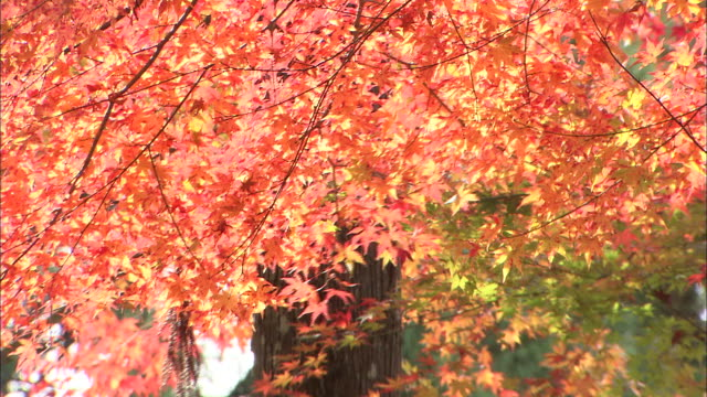 branches of orange maple leaves gently swaying in autumnal breeze - maple leaf stock videos and b-roll footage