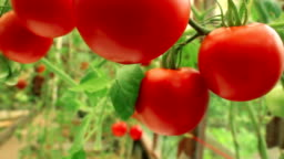 Branches of ripe tomatoes