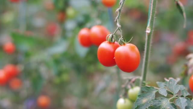 vidéos et rushes de branches de tomates mûres - tomate