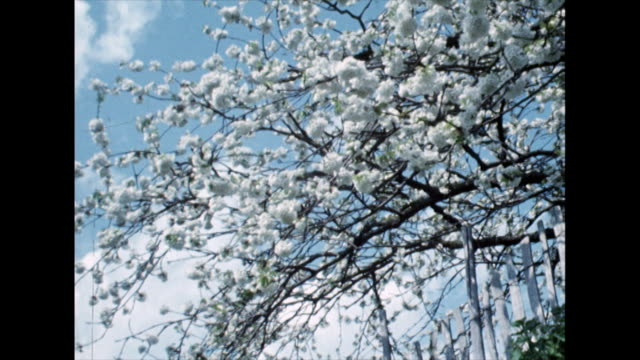 branches of white apple blossom against a blue sky; 1968 - blue stock videos & royalty-free footage