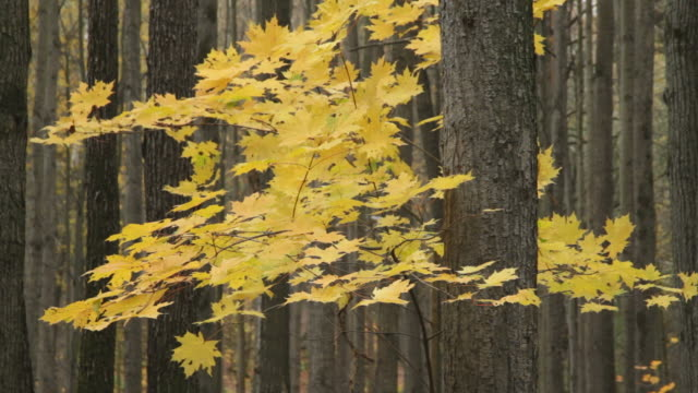 ms branches of yellow maple between tree trunks / moscow, russia - trunk tree stock videos and b-roll footage