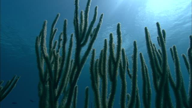 Branching corals in shallow sea, Caribbean, Bahamas