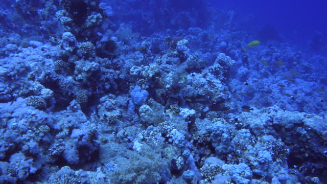 branching gorgonia coral - red sea stock videos & royalty-free footage