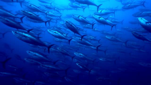 branco di pesci grandi della specie tonno rosso nuotano in mediterraneo - school of fish stock videos & royalty-free footage