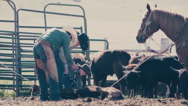 branding cattle in utah - trapped stock videos & royalty-free footage