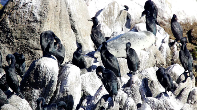 brandt's cormorants - preening animal behavior stock videos & royalty-free footage