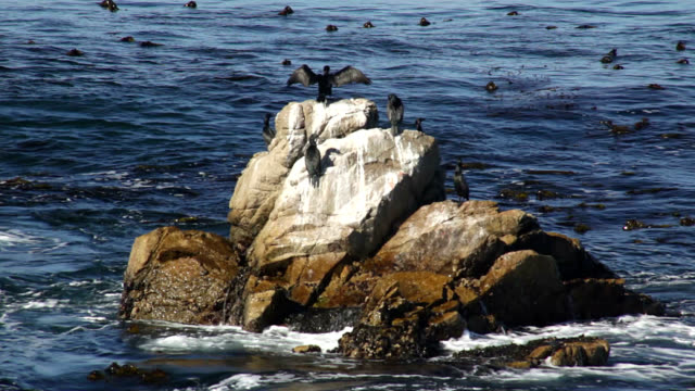 brandt's cormorants - spread wings stock videos & royalty-free footage