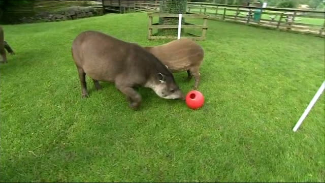 England prepares Cumbria EXT Two Brazilian tapirs in field Tapir chooses food from 'England bucket' ignoring food in 'Italy bucket'