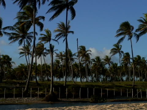 stockvideo's en b-roll-footage met ms, brazil, bahia, imbassai beach, coconut palms by river - waaierpalm