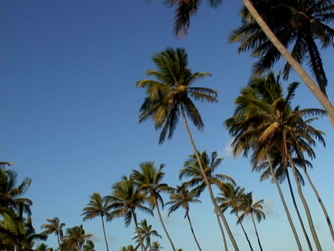 stockvideo's en b-roll-footage met ms, la, brazil, bahia, imbassai beach, coconut palms - waaierpalm