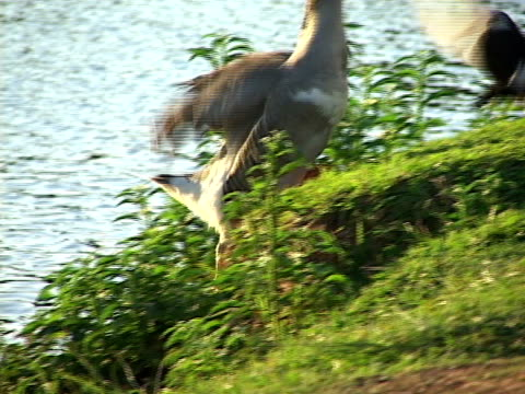 vidéos et rushes de cu, pan, brazil, goias, goiania, gooses at lake - petit groupe d'animaux