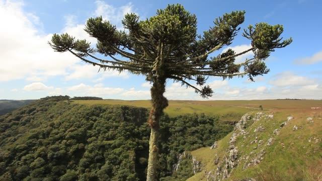 brazilian araucaria tree over the mountain. - single tree stock videos & royalty-free footage