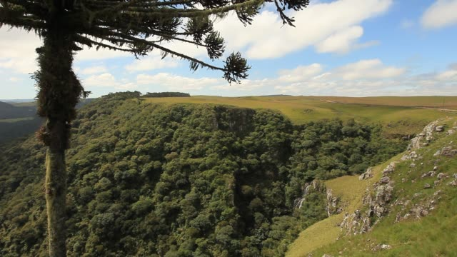 brazilian araucaria tree over the mountain. - tropical tree stock videos & royalty-free footage