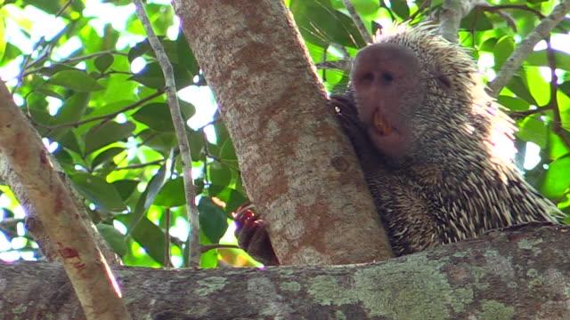 brazilian porcupine, pantanal, brazil - south america stock videos & royalty-free footage