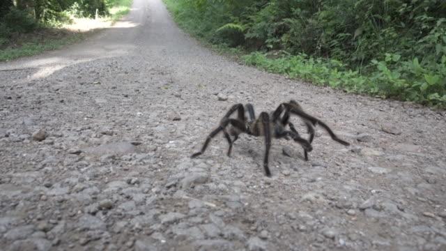 brazilian tarantula caranguejeira spider. - arachnophobia stock videos and b-roll footage