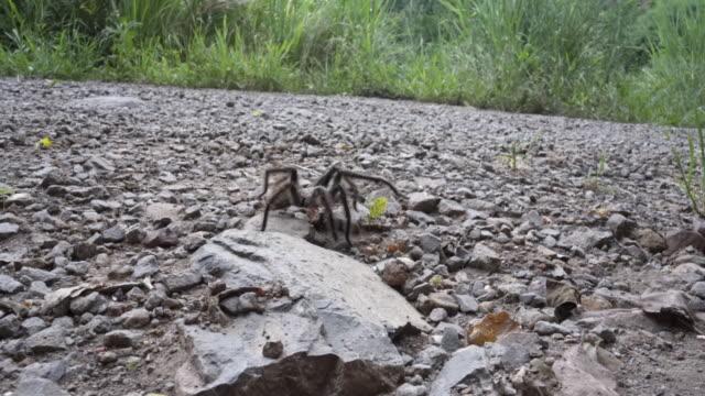 brazilian tarantula caranguejeira spider. - poisonous stock videos & royalty-free footage
