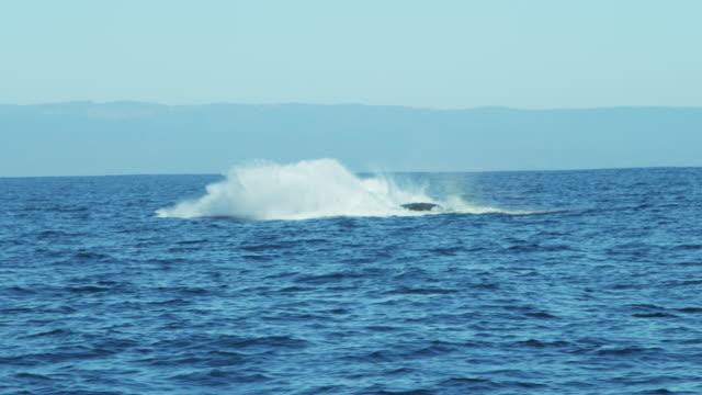 breaching humpback whale mammal coastal waters pacific ocean - ザトウクジラ点の映像素材/bロール