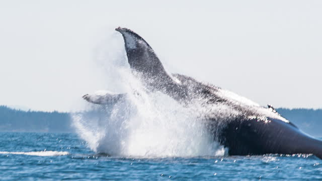 breaching humpback whale - slow motion - whale stock videos & royalty-free footage