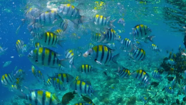 bread floats at surface of water, striped tropical fish swim around from below - schnorchel stock-videos und b-roll-filmmaterial