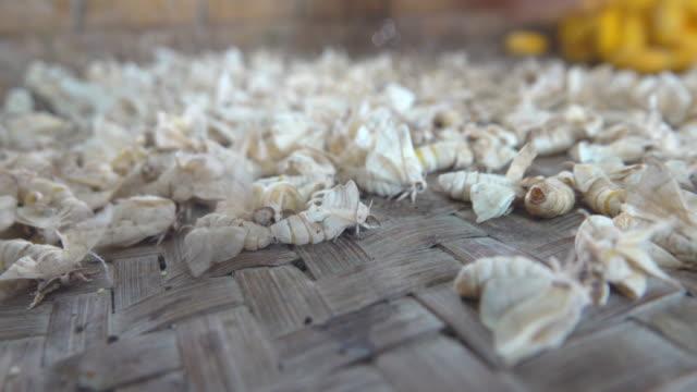 Breeder, Pupa, Silk Moth or Bombyx mori