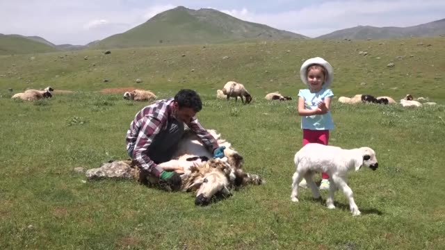 breeders shear sheep before summer season in the karabey village of turkey's eastern mus province on may 21, 2016. interview with breeder emin demir... - sheep shearing stock videos & royalty-free footage