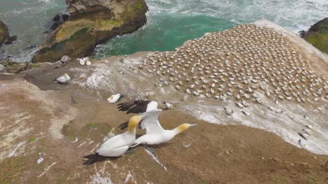 vídeos de stock, filmes e b-roll de breeding at gannet colony. - coluna de calcário marítimo