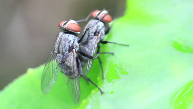 breeding blow fly - insectivore stock videos & royalty-free footage