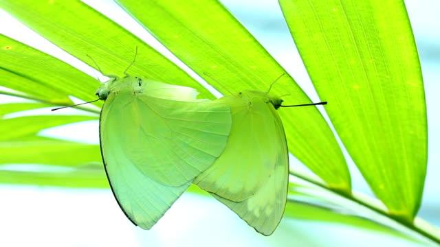 stockvideo's en b-roll-footage met breeding butterflies - voelspriet