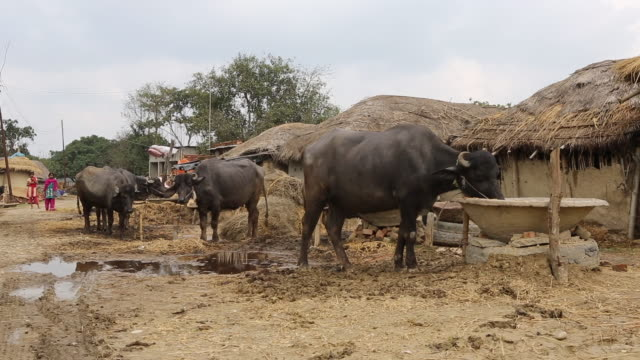 ws of breeding cattle on a muddy dirt road in front of mud huts in a village with several shacks with thatched roofs near birgunj a border town in... - tetto di paglia video stock e b–roll