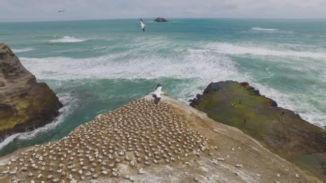 vídeos de stock, filmes e b-roll de breeding colony northern gannets at muriwai beach. - coluna de calcário marítimo