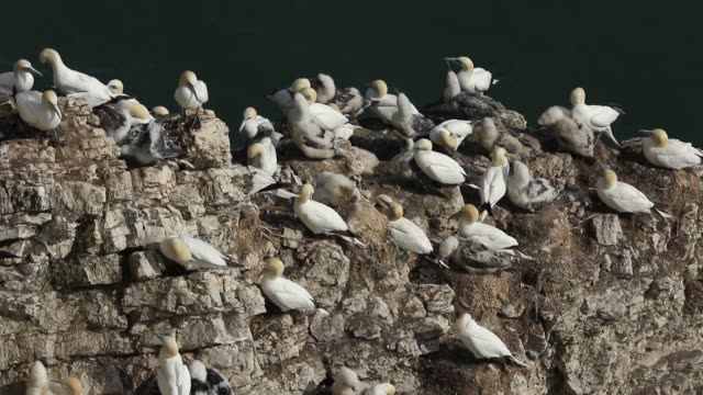 a breeding colony of magnificent gannet, morus bassanus, nesting on cliffs in the uk. - colony stock videos & royalty-free footage