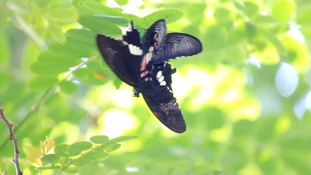 繁殖用のブラックのバタフライ - 動物の色点の映像素材/bロール