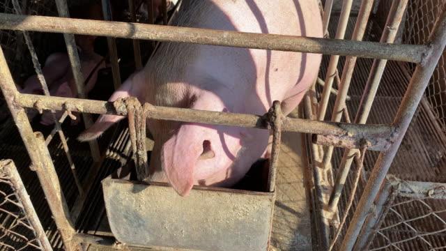zuchtschwein in einem engen käfig - schwein stock-videos und b-roll-filmmaterial