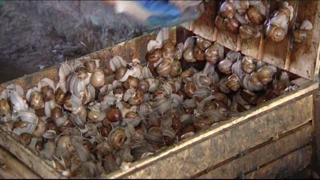 vidéos et rushes de breeding snails in box - mollusque