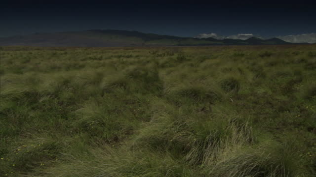 a breeze blows tall grass at the place of refuge in kona, hawaii. - shrubland stock videos & royalty-free footage