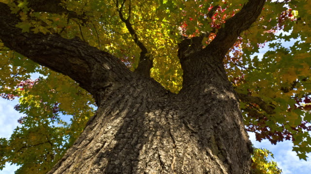 A breeze blows the autumn leaves of a tall tree in Ashland, Oregon.