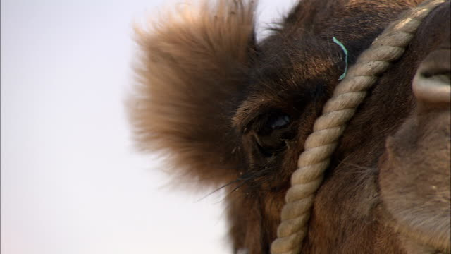 a breeze blows the hair on a camel's head. - bridle stock videos & royalty-free footage