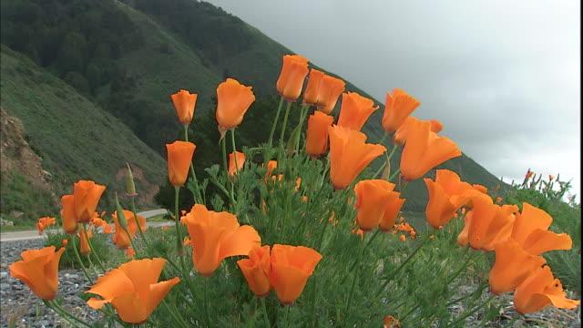 A breeze blows through California poppies growing on a hillside.