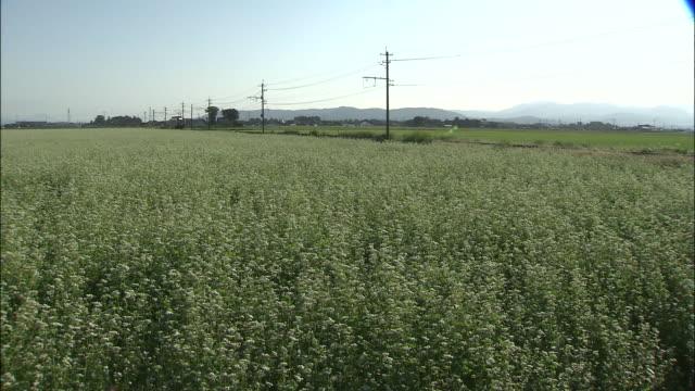 A breeze moves through a buckwheat field where a train passes.