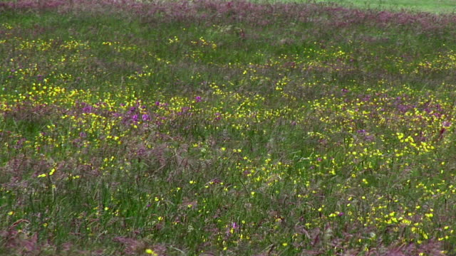 ms, breeze over blooming meadow, clare, ireland - doolin stock videos & royalty-free footage