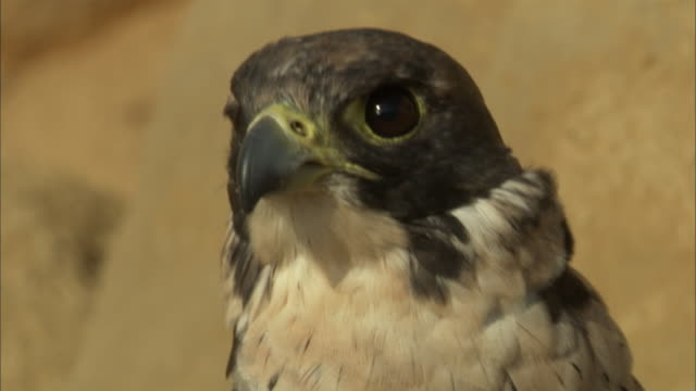 a breeze ruffles the feathers of an intense peregrine falcon. - bird of prey stock videos & royalty-free footage