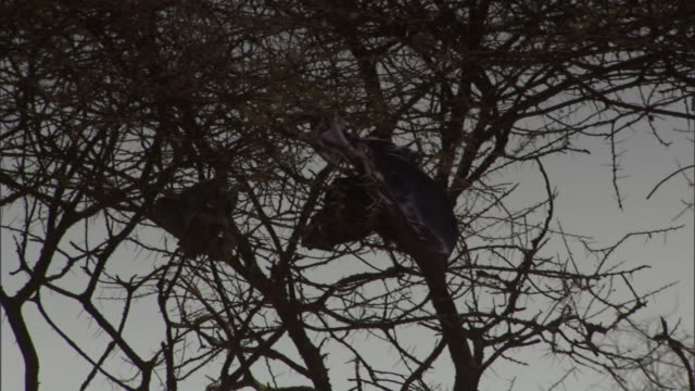 vidéos et rushes de a breeze rustles a cloth stuck in bare tree branches. - bare tree
